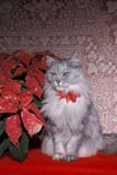 EVE CHR MIS  ON  LDL1000220D  VT     PERSIAN CAT, POINSETTIA BOW, SITTING NEAR POINSETTIAPORT PERRY                       ../..© L. DIANE LACKIE                ALL RIGHTS RESERVEDANIMALS;BULLETINS;CATS;CENTRAL;CHRISTMAS;DECORATIONS;EVENTS;HOLIDAYS;ON_;ONTARIO;PERSIAN_CAT;POINSETTIAS;VTL LONE PINE PHOTO              (306) 683-0889