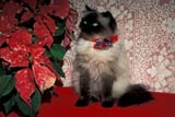 EVE CHR MIS  ON  LDL1000313D     SEALPOINT PURBRED HIMALAYAN CAT WITH PONSETTIA AND BOWPORT PERRY                       12/..© L. DIANE LACKIE                ALL RIGHTS RESERVEDANIMALS;CATS;CENTRAL;CHRISTMAS;DECORATIONS;EVENTS;FLOWERS;HIMALAYAN_CAT;ON_;ONTARIO;PETS;POINSETTIAS LONE PINE PHOTO              (306) 683-0889