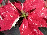EVE CHR MIS  SK  CWN02D5103D  VTCLOSE-UP OF VARIGATTED POINTSETTIA FLOWERSWILSON'S GREENHOUSE AND GARDEN CENTRESASKATOON                            128© CLARENCE W NORRIS           ALL RIGHTS RESERVEDCHRISTMAS;DECORATIONS;EVENTS;FLOWERS;GARDENING;HOLIDAYS;PLAINS;POINTSETTIAS;PRAIRIES;SASKATCHEWAN;SASKATOON;SK_LONE PINE PHOTO                  (306) 683-0889.