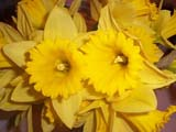 EVE EAS MIS  SK  CWN02A038DDAFFODILS AT EASTER             SASKATOON                          0331              © CLARENCE W. NORRIS         ALL RIGHTS RESERVEDDAFFODILS;EASTER;EVENTS;FLOWERS;PLAINS;PRAIRIES;SASKATCHEWAN;SASKATOON;SK_;SPRINGLONE PINE PHOTO                  (306) 683-0889