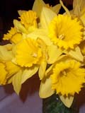 EVE EAS MIS  SK  CWN02A039D  VTDAFFODILS  AT EASTER             SASKATOON                          0331              © CLARENCE W. NORRIS         ALL RIGHTS RESERVEDBULLETINS;DAFFODILS;EASTER;EVENTS;FLOWERS;PLAINS;PRAIRIES;SASKATCHEWAN;SASKATOON;SK_;SPRING;VTLLONE PINE PHOTO                  (306) 683-0889