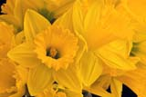 EVE EAS MIS  SK  CWN2201801D  DAFFODIL BLOSSOMSSASKATOON                       03/30© CLARENCE W. NORRIS      ALL RIGHTS RESERVEDDAFFODILS;EASTER;EVENTS;FLOWERS;PLAINS;PRAIRIES;SASKATCHEWAN;SASKATOON;SK_;SPRINGLONE PINE PHOTO              (306) 683-0889
