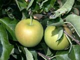 FAR CRO APP  BC  CWN02D2498D     HANNA SPECIAL(WEALTHY AND GOLDEN DELICIOUS) APPLES ON TREESSALMON ARM                          08/. .© CLARENCE W. NORRIS           ALL RIGHTS RESERVEDAPPLES;BC_;BRITISH;BRITISH_COLUMBIA;COLUMBIA;CROPS;FARMING;FOOD;FRUIT;HANNA_SPECIAL;INTERIOR;OKANAGAN_VALLEY;ORCHARDS;RURAL;SALMON_ARM;SCENES;TREES;YELLOWLONE PINE PHOTO                  (306) 683-0889