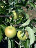 FAR CRO APP  BC  CWN02D2499D  VT  HANNA SPECIAL (WEALTHY AND GOLDEN DELICIOUS) APPLES ON TREESSALMON ARM                          08/. .© CLARENCE W. NORRIS           ALL RIGHTS RESERVEDAPPLES;BC_;BRITISH;BRITISH_COLUMBIA;BULLETINS;COLUMBIA;CROPS;FARMING;FOOD;FRUIT;HANNA_SPECIAL;INTERIOR;OKANAGAN_VALLEY;ORCHARDS;RURAL;SALMON_ARM;SCENES;TREES;VTL;YELLOWLONE PINE PHOTO                  (306) 683-0889