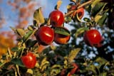 FAR CRO APP  ON  LDL1000459D RED EMPIRE APPLESOCALA FARM ORCHARDSSCUGOG                              10/..© DIANE LACKIE                    ALL RIGHTS RESERVEDAPPLES;AUTUMN;CENTRAL;CROPS;FARMING;FOOD;FRUIT;ON_;ONTARIO;ORCHARDS;RED;ROYAL_GALA;SCUGOG;TREESLONE PINE PHOTO              (306) 683-0889