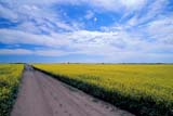 FAR CRO CAN  SK  GMM0001687D   DIRT ROAD THROUGH CANOLA FIELDQUILL LAKE                            09/..   © GARFIELD MACGILLIVRAY     ALL RIGHTS RESERVED AUTUMN;CANOLA;CROPS;FARMING;FIELDS;PLAINS;PRAIRIES;QUILL_LAKE;ROADS;RURAL;SASKATCHEWAN;SK_;SUMMER;SUMMER_ROADSLONE PINE PHOTO                 (306) 683-0889