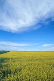 FAR CRO CAN  SK  GMM0001688D  VT  CANOLA FIELD IN BLOOMQUILL LAKE                            09/..   © GARFIELD MACGILLIVRAY     ALL RIGHTS RESERVED AUTUMN;CANOLA;CROPS;FARMING;FIELDS;PLAINS;PRAIRIES;QUILL_LAKE;ROADS;RURAL;SASKATCHEWAN;SK_;SUMMER;VTLLONE PINE PHOTO                 (306) 683-0889