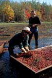 FAR CRO CRA  ON  BMM1001244D  VTMEN HARVESTING CRANBERRIESJOHNSON'S CRANBERRY MARSHBALA                                   10/..© BEV MCMULLEN                ALL RIGHTS RESERVEDADULTS;AUTUMN;BALA;BERRIES;CENTRAL;CRANBERRIES;CROPS;FARMING;FOOD;HARVEST;MALE;MARSHES;OCCUPATIONS;ON_;ONTARIO;PEOPLE;VTLLONE PINE PHOTO              (306) 683-0889