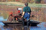 FAR CRO CRA  ON  LDL1000499DWORKER AND CRANBERRY MACHINEJOHNSTON'S CRANBERRY MARSHBALA                                   10/..© DIANE LACKIE                    ALL RIGHTS RESERVEDAUTUMN;BALA;BERRIES;CENTRAL;CRANBERRIES;CROPS;EQUIPMENT;FARMING;HARVEST;MALE;MARSHES;OCCUPATIONS;ON_;ONTARIO;PEOPLE;RURAL;SCENESLONE PINE PHOTO              (306) 683-0889