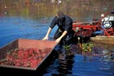 FAR CRO CRA  ON  LDL1000264DWORKER WITH HARVEST BOAT IN CRANBERRY BOGBALA                                  10..© L. DIANE LACKIE                ALL RIGHTS RESERVEDAUTUMN;BALA;BERRIES;CENTRAL;CRANBERRIES;CROPS;EQUIPMENT;FARMING;HARVEST;MALE;OCCUPATIONS;ON_;ONTARIO;PEOPLE;RURAL;SCENESLONE PINE PHOTO              (306) 683-0889
