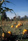 FAR CRO PUM  BC  WFS1000138D  VTPUMPKINS IN FIELD, FRAMED BY CORNCHILLIWACK                         10..© WILLIAM F. SMITH                 ALL RIGHTS RESERVEDBC_;BRITISH;BRITISH_COLUMBIA;COLUMBIA;CHILLIWACK;CROPS;FARMING;FIELDS;FOOD;HARVEST;INTERIOR;PRODUCE;PUMPKINS;RURAL;SCENES;SK_;VTLLONE PINE PHOTO              (306) 683-0889