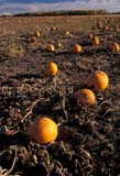 FAR CRO PUM  SK     1709505D  VTPUMPKINS IN A FIELDSASKATOON                       104© CLARENCE W. NORRIS      ALL RIGHTS RESERVEDCOLOUR;CROPS;FARMING;FIELDS;FOOD;HARVEST;PLAINS;PRAIRIES;PRODUCE;PUMPKINS;RURAL;SASKATCHEWAN;SASKATOON;SCENES;SK_;VTLLONE PINE PHOTO              (306) 683-0889