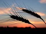 FAR CRO WHE  SK  CWN02D3233D   BEARDED WHEAT AGAINST TWILIGHT SKYSASKATOON                          09/. .© CLARENCE W. NORRIS         ALL RIGHTS RESERVEDCROPS;FARMING;FOOD;GRAIN;PLAINS;PRAIRIES;SASKATCHEWAN;SASKATOON;SCENES;SILHOUETTE;SK_;TWILIGHT;WHEATLONE PINE PHOTO                  (306) 683-0889