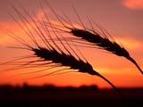 FAR CRO WHE  SK  CWN02D3235D   BEARDED WHEAT AGAINST TWILIGHT SKYSASKATOON                          09/. .© CLARENCE W. NORRIS         ALL RIGHTS RESERVEDCROPS;FARMING;FOOD;GRAIN;PLAINS;PRAIRIES;SASKATCHEWAN;SASKATOON;SCENES;SILHOUETTE;SK_;TWILIGHT;WHEATLONE PINE PHOTO                  (306) 683-0889