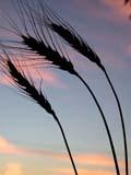 FAR CRO WHE  SK  CWN02D3255D  VTBEARDED WHEAT AGAINST TWILIGHT SKYSASKATOON                          09/. .© CLARENCE W. NORRIS         ALL RIGHTS RESERVEDBULLETINS;CROPS;FARMING;FOOD;GRAIN;PLAINS;PRAIRIES;SASKATCHEWAN;SASKATOON;SCENES;SILHOUETTE;SK_;TWILIGHT;VTL;WHEATLONE PINE PHOTO                  (306) 683-0889