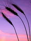 FAR CRO WHE  SK  CWN02D3259D  VTBEARDED WHEAT AGAINST TWILIGHT SKYSASKATOON                          09/. .© CLARENCE W. NORRIS          ALL RIGHTS RESERVEDBULLETINS;CROPS;FARMING;FOOD;GRAIN;PLAINS;PRAIRIES;SASKATCHEWAN;SASKATOON;SCENES;SILHOUETTE;SK_;TWILIGHT;VTL;WHEATLONE PINE PHOTO                  (306) 683-0889