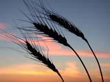 FAR CRO WHE  SK  CWN02D3271D   BEARDED WHEAT AGAINST TWILIGHT SKYSASKATOON                          09/. .© CLARENCE W. NORRIS         ALL RIGHTS RESERVEDCROPS;FARMING;FOOD;GRAIN;PLAINS;PRAIRIES;RURAL;SASKATCHEWAN;SASKATOON;SCENES;SILHOUETTE;SK_;TWILIGHT;WHEATLONE PINE PHOTO                  (306) 683-0889