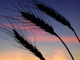 FAR CRO WHE  SK  CWN02D3285D   BEARDED WHEAT AGAINST TWILIGHT SKYSASKATOON                          09/. .© CLARENCE W. NORRIS         ALL RIGHTS RESERVEDCROPS;FARMING;FOOD;GRAIN;PLAINS;PRAIRIES;RURAL;SASKATCHEWAN;SASKATOON;SCENES;SILHOUETTE;SK_;TWILIGHT;WHEATLONE PINE PHOTO                  (306) 683-0889