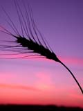 FAR CRO WHE  SK  CWN02D3305D   VTBEARDED WHEAT AGAINST TWILIGHT SKYSASKATOON                          09/. .© CLARENCE W. NORRIS         ALL RIGHTS RESERVEDBULLETINS;CROPS;FARMING;FOOD;GRAIN;PLAINS;PRAIRIES;RURAL;SASKATCHEWAN;SASKATOON;SCENES;SILHOUETTE;SK_;TWILIGHT;VTL;WHEATLONE PINE PHOTO                  (306) 683-0889