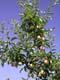 SPARTAN APPLES ON TREE, SALMON ARM