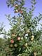 SPARTAN APPLES ON TREE, SALMON ARM
