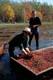 MEN HARVESTING CRANBERRIES, BALA