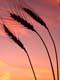 BEARDED WHEAT AGAINST TWILIGHT SKY, SASKATOON