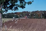 FAR CUL MIS  ON  LDL1000175DFARMER PLOWING FALL FIELD, GULLS FOLLOWING BEHINDCOLUMBUS                         10..© L. DIANE LACKIE              ALL RIGHTS RESERVEDBIRDS;CENTRAL;COLUMBUS;CULTIVATING;EQUIPMENT;FARMING;FIELDS;GULLS;ON_;ONTARIO;RURAL;SCENES;SOILLONE PINE PHOTO              (306) 683-0889