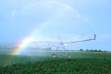 FAR IRR MIS  SK   WS21062D    IRRIGATING POTATO CROPGLENSIDE                            07/. .© WAYNE SHIELS                ALL RIGHTS RESERVEDCROPS;FARMING;FIELDS;GLENSIDE;IRRIGATION;PLAINS;POTATOES;PRAIRIES;RAINBOWS;SASKATCHEWAN;SK_;WATERLONE PINE PHOTO                  (306) 683-0889
