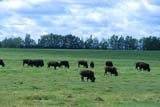 FAR LIV BIS  AB  CWN2207603DBUFFALO HERDS GRAZING IN PASTUREBUCK LAKE                           09..© CLARENCE W. NORRIS       ALL RIGHTS RESERVEDAB_;ALBERTA;ANIMALS;BISON;BUCK_LAKE;BUFFALO;FARMING;LIVESTOCK;PASTURES;PLAINS;PRAIRIES;RANCHING;RURAL;SCENES;SUMMER LONE PINE PHOTO               (306) 683-0889