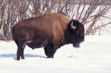 FAR LIVE BIS  SK     2104116DBISON STANDING IN SNOW SASKATOON                       03..© CLARENCE W. NORRIS      ALL RIGHTS RESERVEDANIMALS;BISON;BUFFALO;FARMING;LIVESTOCK;PLAINS;PRAIRIES;RANCHING;RURAL;SASKATCHEWAN;SASKATOON;SCENES;SK_;WINTERLONE PINE PHOTO              (306) 683-0889