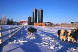FAR  LIV  CAT  SK     17006211DCATTLE IN SNOW BY SILOSLANGHAM                             015© CLARENCE W. NORRIS        ALL RIGHTS RESERVEDANIMALS;BEEF;CATTLE;COWS;FARMING;LANGHAM;LIVESTOCK;PLAINS;PRAIRIES;RURAL;SASKATCHEWAN;SCENES;SILOS;SK_;WINTERLONE PINE PHOTO                  (306) 683-0889