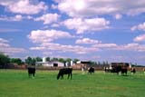 FAR  LIV  CAT  SK     1803301DDAIRY CATTLE IN PASTUREFARM IN BACKGROUNDMARTENSVILLE                      073© CLARENCE W. NORRIS        ALL RIGHTS RESERVEDANIMALS;CATTLE;COWS;DAIRY;FARMING;LIVESTOCK;MARTENSVILLE;PASTURES;PLAINS;PRAIRIES;RURAL;SASKATCHEWAN;SASKATOON;SCENES;SK_LONE PINE PHOTO                  (306) 683-0889