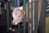 FAR LIV CAT  SK     1913701D  COW IN CHUTESASKATOON                       10..© CLARENCE W. NORRIS      ALL RIGHTS RESERVEDCALVES;CATTLE;COWS;EAR_TAGS;FARMING;LIVESTOCK;PLAINS;PRAIRIES;RANCHING;RURAL;SASKATCHEWAN;SASKATOON;SK_LONE PINE PHOTO              (306) 683-0889