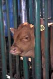 FAR LIV CAT  SK     1913702D  VTCOW IN CHUTESASKATOON                       10..© CLARENCE W. NORRIS      ALL RIGHTS RESERVEDCALVES;CATTLE;COWS;EAR_TAGS;FARMING;LIVESTOCK;PLAINS;PRAIRIES;RANCHING;RURAL;SASKATCHEWAN;SASKATOON;SK_;VTLLONE PINE PHOTO              (306) 683-0889