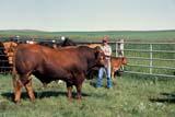 FAR LIV CAT  SK   WS21780D  GELBVIEN AND ANGUS CATTLECEYLON                              07/..© WAYNE SHIELS                ALL RIGHTS RESERVEDANGUS;ANIMALS;CATTLE;CEYLON;FARMING;GELBVIEN;LIVESTOCK;MALE;OCCUPATIONS;PEOPLE;PLAINS;PRAIRIES;RANCHING;RURAL;SASKATCHEWAN;SCENES;SK_;SUMMER LONE PINE PHOTO              (306) 683-0889
