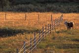 FAR LIV CAT  SK   WS21838D  COW AND FENCELINE AT SUNSETEASTEND                            07/..© WAYNE SHIELS                ALL RIGHTS RESERVEDANIMALS;BARBED_WIRE;CATTLE;COWS;EASTEND;FARMING;FENCES;LIVESTOCK;PLAINS;PRAIRIES;RANCHING;RURAL;SASKATCHEWAN;SK_;SUMMER;SUNSETSLONE PINE PHOTO              (306) 683-0889
