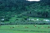 FAR  LIV  CAT  SK  CWN0204011DCATTLE IN PASTURE, FARM IN GREEN SUMMER HILLSCYPRESS HILLS                     07..© CLARENCE W. NORRIS        ALL RIGHTS RESERVEDANIMALS;CATTLE;CYPRESS_HILLS;FARMING;HILLS;LIVESTOCK;PASTURES;PLAINS;PLATEAU;PRAIRIES;RANCHING;RURAL;SASKATCHEWAN;SCENES;SK_LONE PINE PHOTO                (306) 683-0889
