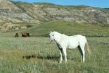 FAR LIV HOR  AB  REH1000930D  WHITE HORSE IN RED DEER RIVER VALLEYDRUMHELLER                       08..© ROYCE HOPKINS              ALL RIGHTS RESERVEDAB_;ALBERTA;ANIMALS;BADLANDS;DRUMHELLER;FARMING;HORSES;LIVESTOCK;PLAINS;PRAIRIES;RED_DEER_RIVER;RURAL;SCENESLONE PINE PHOTO              (306) 683-0889