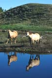 FAR LIV HOR  AB  REH1000931D  VTTWO HORSES REFLECTED IN PONDDRUMHELLER                        08..© ROYCE HOPKINS               ALL RIGHTS RESERVEDAB_;ALBERTA;ANIMALS;BULLETINS;DRUMHELLER;FARMING;HORSES;LIVESTOCK;REFLECTIONS;RURAL;SCENES;VTLLONE PINE PHOTO               (306) 683-0889