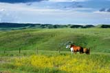 FAR LIV HOR  SK     1506352DHORSES IN SUMMER PASTUREEASTEND                              0718© CLARENCE W. NORRIS       ALL RIGHTS RESERVEDANIMALS;EASTEND;FARMING;HORSES;LIVESTOCK;PASTURES;PLAINS;PRAIRIES;RANCHING;RURAL;SASKATCHEWAN;SCENES;SK_LONE PINE PHOTO               (306) 683-0889