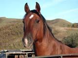 FAR LIV HOR  SK  CWN02D3669DCLOSE UP OF HORSE IN CORRALQU'APPELLE VALLEYMELVILLE                            0928© CLARENCE W. NORRIS      ALL RIGHTS RESERVEDANIMALS;BULLETINS;FARMING;HORSES;LIVESTOCK;MELVILLE;PLAINS;PRAIRIES;QU_APPELLE_VALLEY;RURAL;SASKATCHEWAN;SCENES;SK_LONE PINE PHOTO              (306) 683-0889