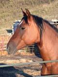 FAR LIV HOR  SK  CWN02D3670D  VTCLOSE UP OF HORSE IN CORRALQU'APPELLE VALLEYMELVILLE                            0928© CLARENCE W. NORRIS      ALL RIGHTS RESERVEDANIMALS;BULLETINS;FARMING;HORSES;LIVESTOCK;MELVILLE;PLAINS;PRAIRIES;QU_APPELLE_VALLEY;RURAL;SASKATCHEWAN;SCENES;SK_;VTLLONE PINE PHOTO              (306) 683-0889