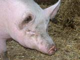 FAR LIV PIG  BC  CWN02D2337D   PIG IN STRAW IN BARN, DE MILLE'S MARKET GARDENSALMON ARM                          08..© CLARENCE W NORRIS           ALL RIGHTS RESERVEDANIMALS;BC_;BRITISH;BRITISH_COLUMBIA;COLUMBIA;FARMING;INTERIOR;LIVESTOCK;OKANAGAN_VALLEY;PIGS;SALMON_ARMLONE PINE PHOTO                  (306) 683-0889.