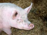 FAR LIV PIG  BC  CWN02D2339D   PIG IN STRAW IN BARN, DE MILLE'S MARKET GARDENSALMON ARM                          08..© CLARENCE W NORRIS           ALL RIGHTS RESERVEDANIMALS;BC_;BRITISH;BRITISH_COLUMBIA;COLUMBIA;FARMING;INTERIOR;LIVESTOCK;OKANAGAN_VALLEY;PIGS;SALMON_ARMLONE PINE PHOTO                  (306) 683-0889.