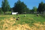 FAR LIV SHE   AB     1613856D     SHEEP GRAZING IN SUMMER PASTUREUKRAINIAN CULTURAL VILLAGEEDMONTON                             08/19             © CLARENCE W. NORRIS           ALL RIGHTS RESERVEDAB_;ALBERTA;EDMONTON;FARMING;GRAZING;LIVESTOCK;PASTURES;PLAINS;PIONEERS;PRAIRIES;RANCHING;RURAL;SCENES;SHEEP;UKRAINIAN_CULTURAL_VILLAGE;WOOL  LONE PINE PHOTO                  (306) 683-0889