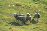 FAR LIV SHE   AB     1615167DSHEEP IN SUMMER PASTUREBOYNE LAKE                            08/20             © CLARENCE W. NORRIS           ALL RIGHTS RESERVEDAB_;ANIMALS;BOYNE_LAKE;FARMING;GRAZING;LIVESTOCK;PASTURES;PLAINS;PRAIRIES;RANCHING;RURAL;SASKATCHEWAN;SCENES;SHEEP;WOOLLONE PINE PHOTO                  (306) 683-0889