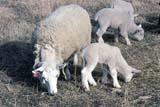FAR LIV SHE SK     1215103DSHEEP AND LAMBS EATINGWARMAN                            044© CLARENCE W. NORRIS      ALL RIGHTS RESERVEDANIMALS;EAR_TAGS;FARMING;GRAZING;FEEDING;LAMBS;LIVESTOCK;PASTURES;PLAINS;PRAIRIES;RANCHING;RURAL;SASKATCHEWAN;SCENES;SHEEP;SK_;WARMAN;WOOLLONE PINE PHOTO              (306) 683-0889