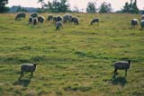 FAR LIV SHE   SK   WS21170DSHEEP IN SUMMER PASTUREWARMAN                                07/..             © WAYNE SHIELS                    ALL RIGHTS RESERVEDANIMALS;FARMING;GRAZING;LIVESTOCK;PASTURES;PLAINS;PRAIRIES;RANCHING;RURAL;SASKATCHEWAN;SCENES;SHEEP;SK_;WARMAN;WOOLLONE PINE PHOTO                  (306) 683-0889
