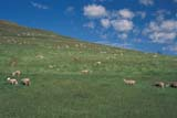 FAR LIV SHE  SK   WS21789D  SHEEP GRAZING ON SUMMER HILLSIDEWOOD MOUNTAIN              ../..© WAYNE SHIELS                ALL RIGHTS RESERVEDANIMALS;FARMING;LIVESTOCK;PASTURES;PLAINS;PRAIRIES;RANCHING;RURAL;SASKATCHEWAN;SCENES;SHEEP;SK_;SUMMER;WOOD_MOUNTAINLONE PINE PHOTO              (306) 683-0889